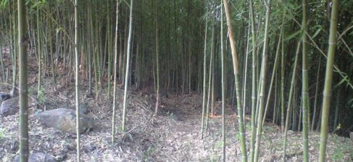 Japanese Gosanchiku Bamboo