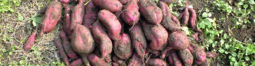 Good Harvest for Potatoes