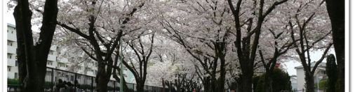 Cherry Blossoms 2011